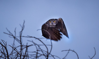 Great Horned Owl female in dark condtions with no flash.