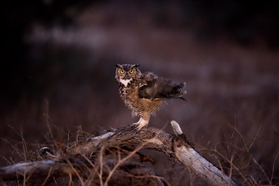 Father Owl ready to hunt.