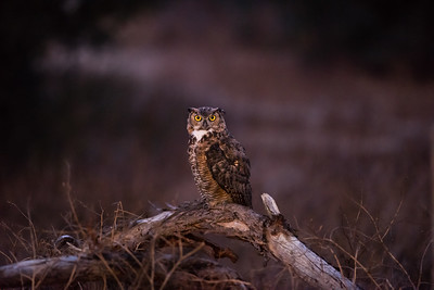 Papa Owl perched low in the SBWR commemorative grove. 8-13-15.