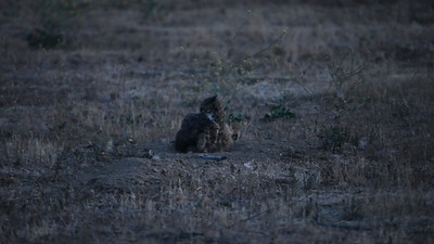 Mother Owl (Sheba) dust bathing in the fields, with Solo dropping in to visit before the night's hunt.