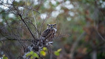 Papa Owl communicating with screeching owlet at sunset, September 18, 2015.
