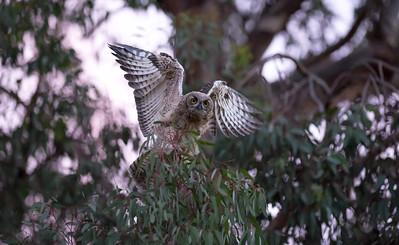 Solo, the singleton owlet.