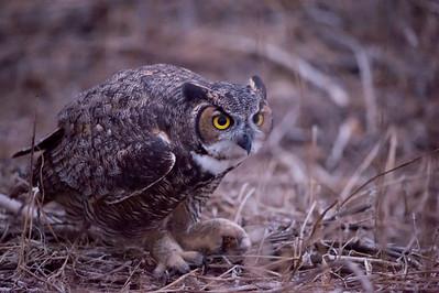 "Great Horned Owl (Sheba) catching Jerusalem Crickets (""Potato Bugs"")."