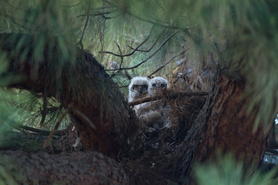 Two of Three Owlets, 10-Mar-2016.