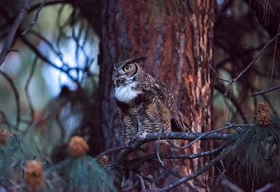 Papa owl watching the nest from one tree over.