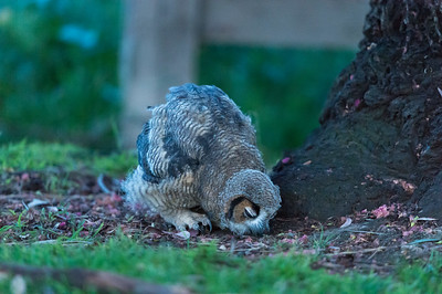 Owlet hunting for insects
