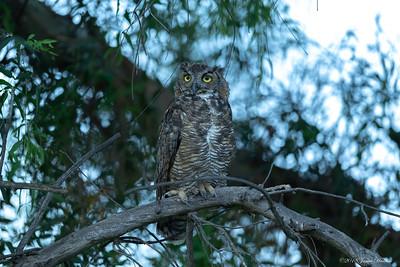 Mom, Mother Owl (Sheba)