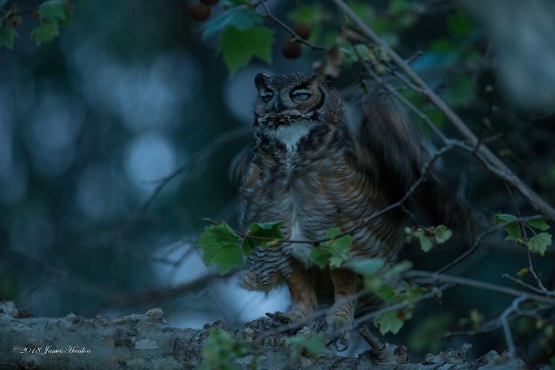 Papa Owl shake-out.