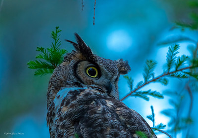 Great Horned Owls (2018)
