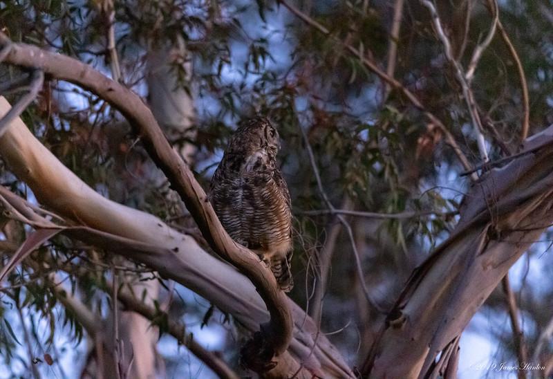 Great Horned Owl female (Mom)