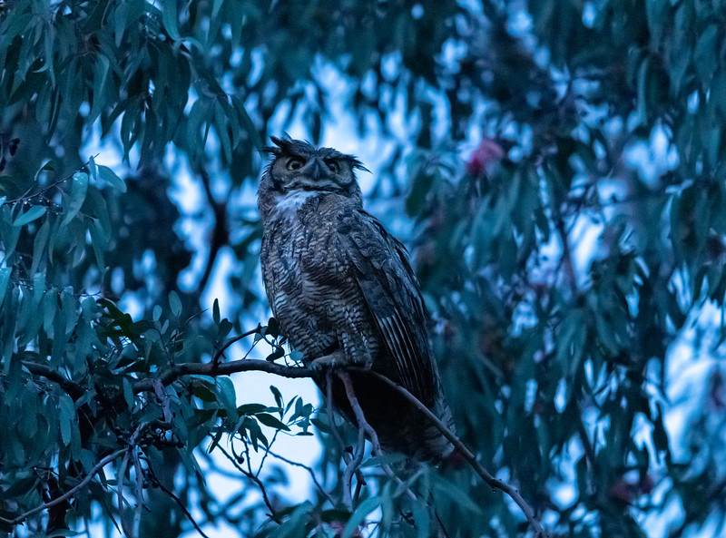 Great Horned Owl female coming off the nest in very dark and rainy socal conditions.