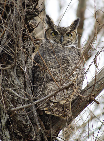 Great Horned Owl - Sacramento NWR