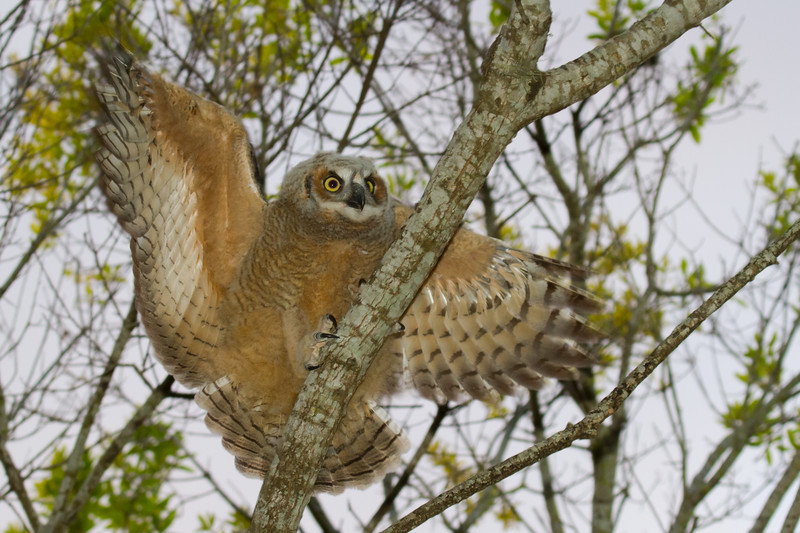 Great Horned Owl 2_23_13