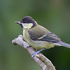 Great Tit (Parus major) :