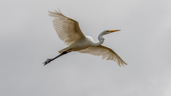 Great White Egret at the canyon