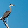 Great blue heron rookery