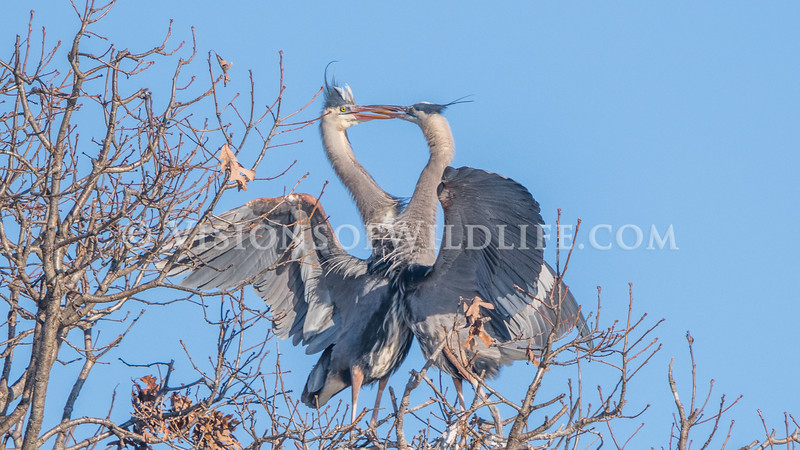 Great blue heron interaction