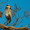 Great blue heron perched