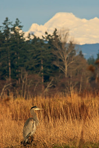 Great Blue Heron (Ardea herodias) with Mount Baker in background