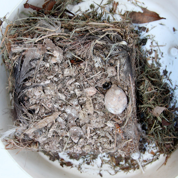 The Great-crested Flycatcher nest contents, top view. View a large version and see what you can find.