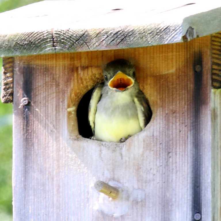 A Great-crested Flycatcher chick sits with open mouth on its first day viewing the world in Melbourne, FL, 06/10/10.