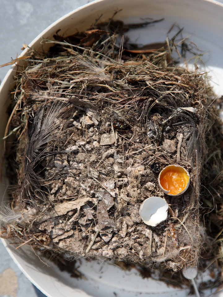 A top view of the Great-crested Flycatchers' nest contents, including the unhatched egg after I opened it up.