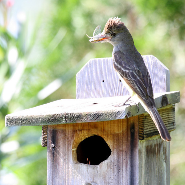 An adult Great-crested Flycatcher has a dragonfly for its young in Melbourne, FL, 06/10/10.