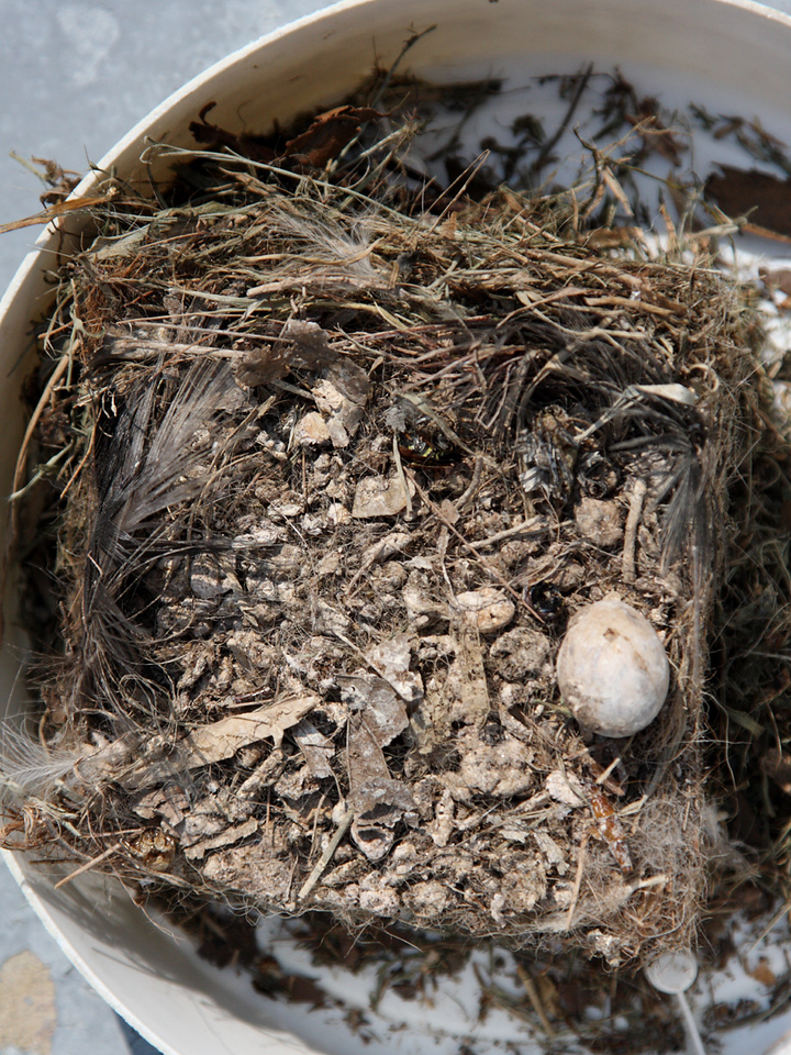 Another top view of the nest contents, including unhatched egg.
