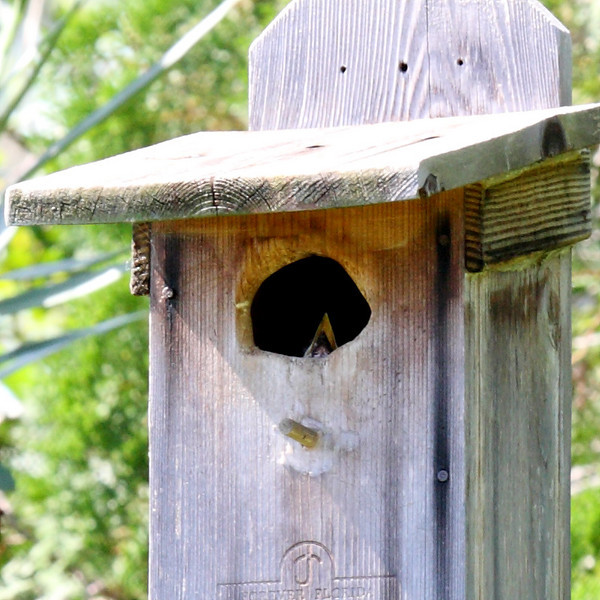 A Great-crested Flycatcher chick's beak is visible in the birdhouse, our first sight of a chick, Melbourne, FL, 06/10/10.