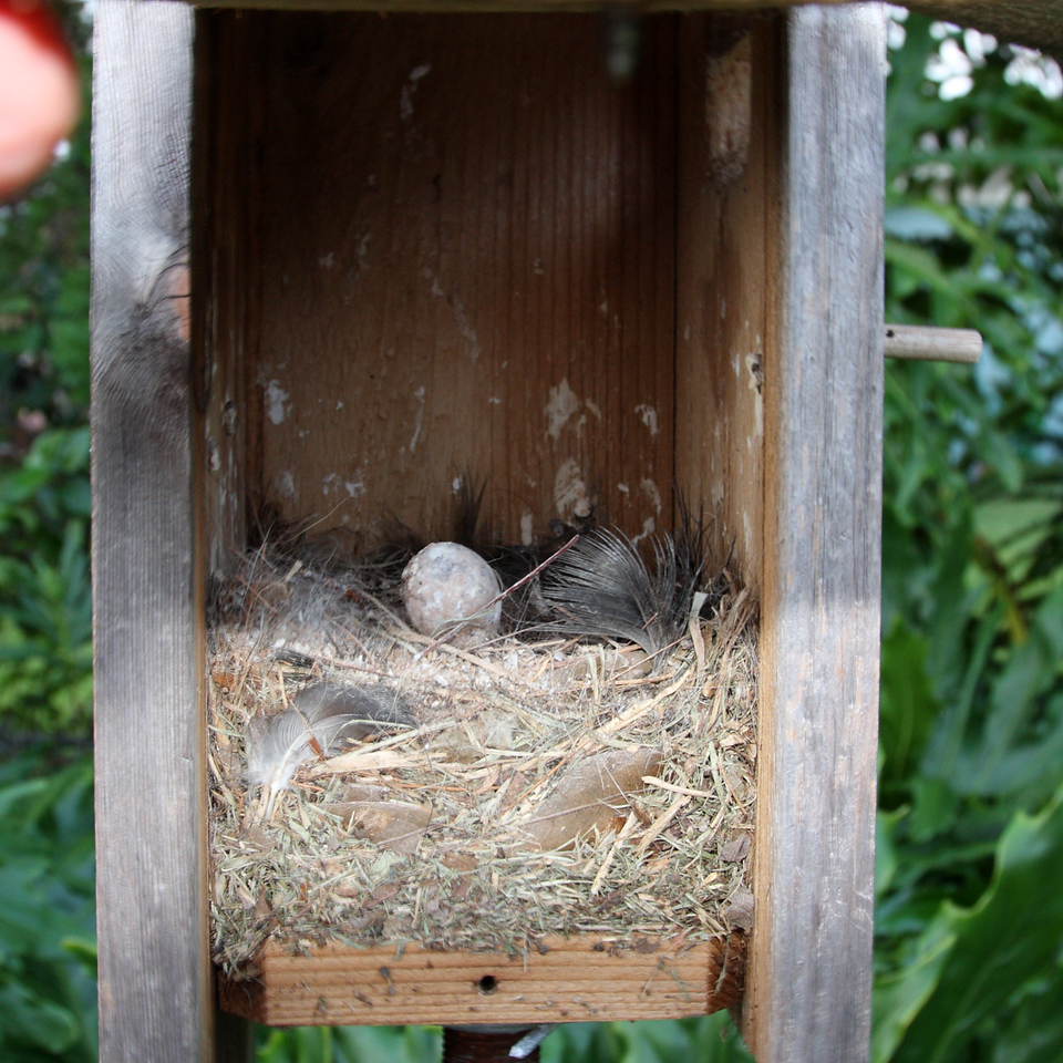 This is the Flycatchers' nest in the modified Bluebird box. Nice and cushy, eh? Apparently one egg didn't hatch.