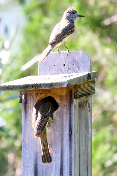 The two adult Great-crested Flycatchers on a modified Bluebird house in Melbourne, FL, 06/10/10. One is feeding the young while the other apparently stands guard.