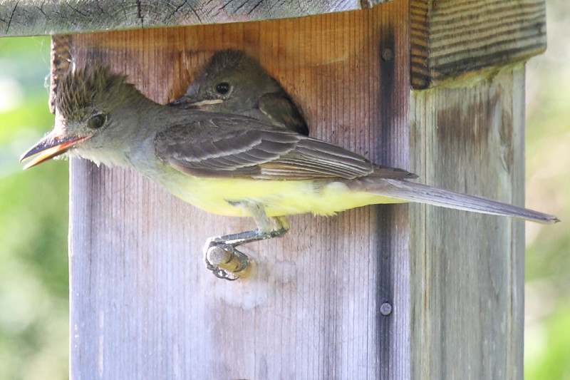 An adult Great-crested Flycatcher on the peg, and a chick in the house, Melbourne, FL, 06/10/10.