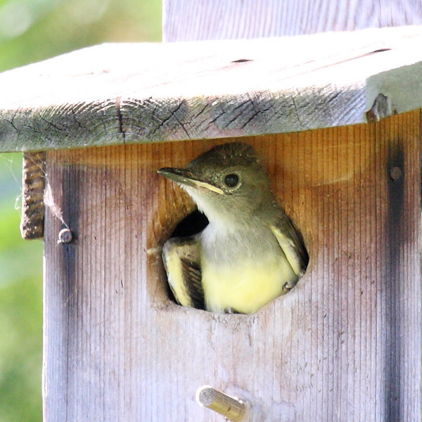 A Great-crested Flycatcher chick on its first day viewing the world, and the day it departed its nest, Melbourne, FL, 06/10/10.