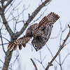 Great gray owl