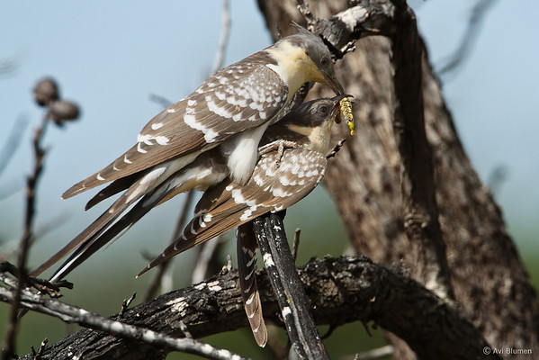 Great spotted cuckoo קוקיה מצוייצת