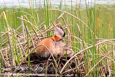 Red-necked Grebe nesting