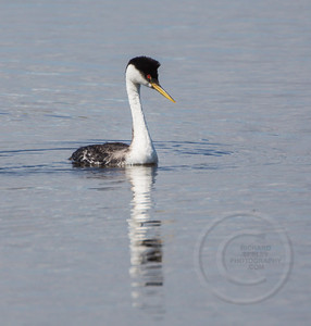 Grebe Swimming Side View