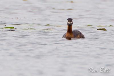 Mud Lake, red-necked grebe: Podiceps grisegena