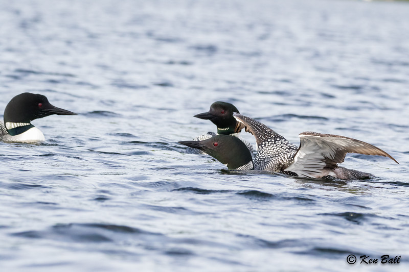 common loon: Gavia immer, Meech Lake, Quebec