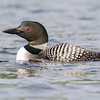 common loon: Gavia immer, Meech Lake, Quebec