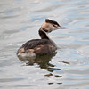 Great Crested Grebe (Podiceps cristatus). Copyright 2009 Peter Drury<br /> Juvenile