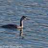26 Nov 2010 - Great Crested Grebe at Broadmarsh. Copyright Peter Drury 2010. Part of E5 Tests<br /> From camera jpg