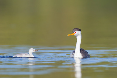 Clark's Grebe - Clearlake, Lakeport, CA, USA
