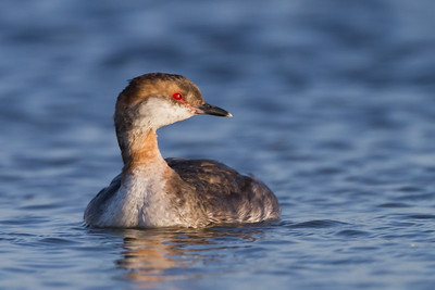 Horned Grebe - Shoreline Park, Mountain View, CA, USA