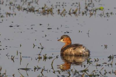 Little Grebe - Koradi Lake, Nagpur, India