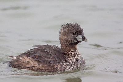Pied-billed Grebe - Palo Alto, CA, USA