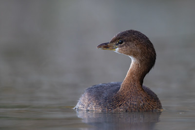 Pied-billed Grebe - AZ, USA