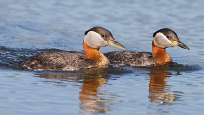Red-necked Grebe - Anchorage, AK, USA