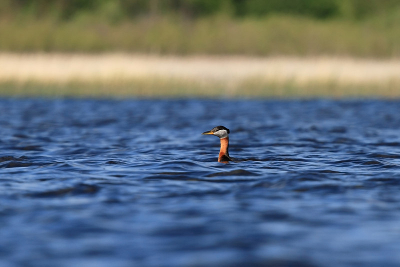 Red-necked Grebe, Northwest MN
