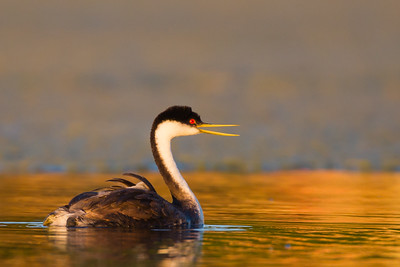 Western Grebe - Clearlake, Lakeport, CA, USA